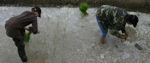 In den Reisfeldern von Kassel Foto: ®Ulf Engelmayer